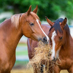 "<img src=""horses.jpg"" alt=""Horses eating mouldy hay"">"