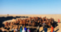 Gobi Desert Nomads Bactria Camels