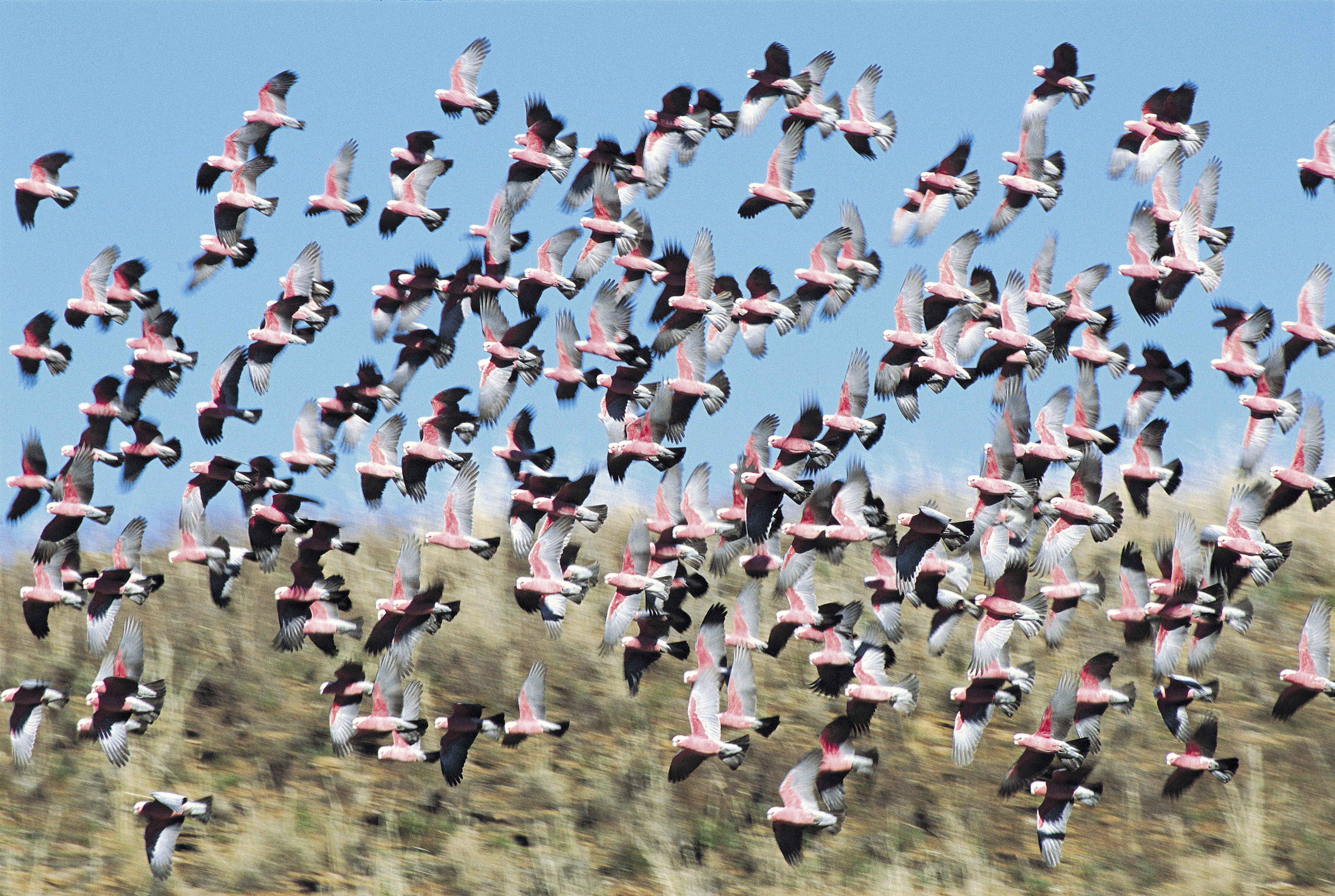 A flock of Galahs