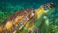 Turtles in Puerto Morelos