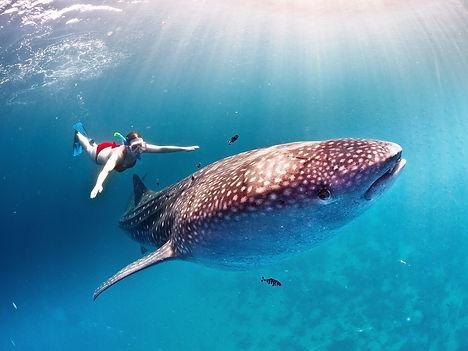 Whale Shark Snorkeling | Wet set Diving Adventures