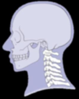 anatomy, head and neck, skull, cervical, medico-legal, legal, medicine, skeleton, spine, vertebrae, cristina sala, sala ripoll, cris sala, scientific illustration, scientific communication, scicomm, vector, whiplash