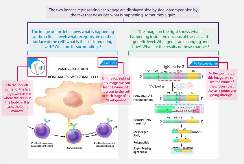 Immunology-illustrations-layout-cristina