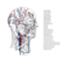 Vessels, head and neck, labeled, medicine, scientific illustration. Education, vector, visual resource, vein, artery, aorta, scicomm, scientific communcaton, scicomm, cristina sala, sala ripoll, cris sala