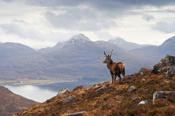 A stag in the highlands, Scotland