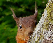 Red squirrel at Ashfield House Boutique B&B