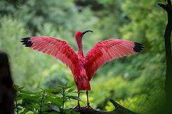 Ibis rojo
