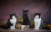 кот кошка персидская экзотическая питомец