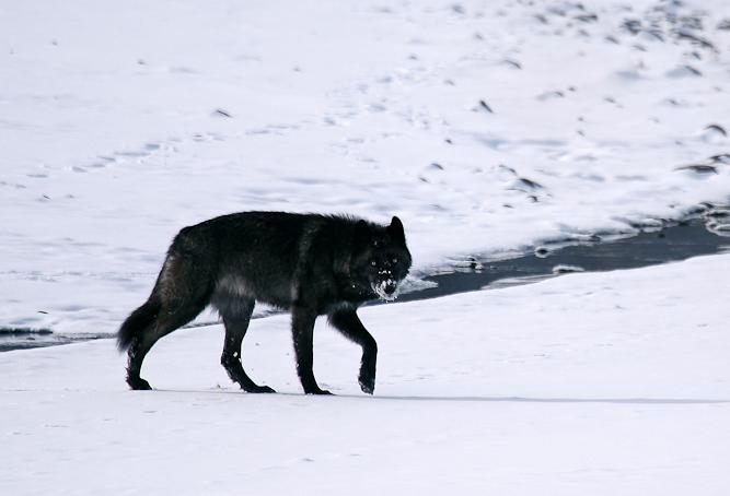 Le loup noir de Yellowstone