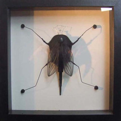 Diptère Poirodae / (vendu)