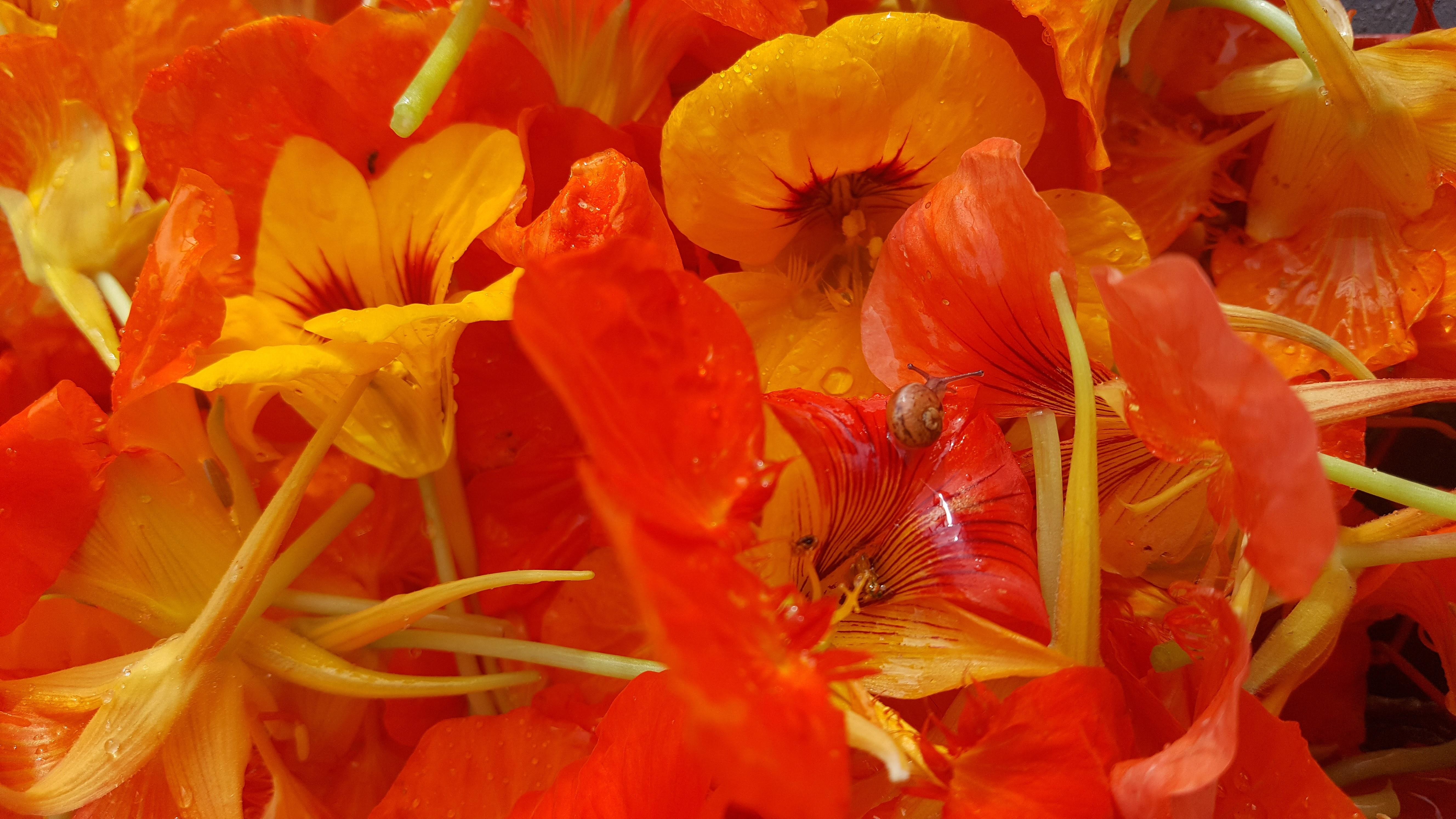 Aux fleurs de Capucines ...