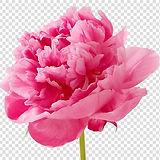 carnation-cut-flowers-petal-pink-mothers-day.jpg