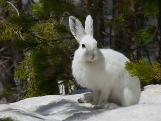Наш отважный заяц