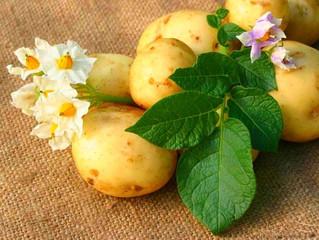 Картофель как лекарственное растение