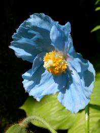 pavot-bleu-de-lhimalaya-danic3a8le.jpg