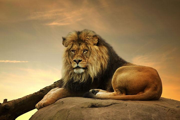 Lion Watching.jpg