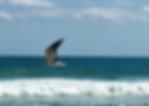 Seagull in Flight L.png