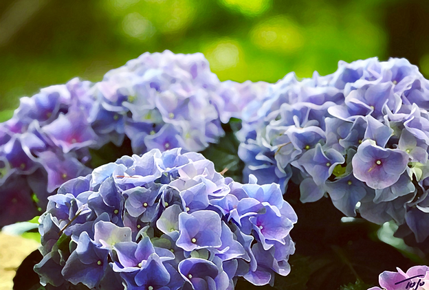 Blue Hydrangea s_edited.png