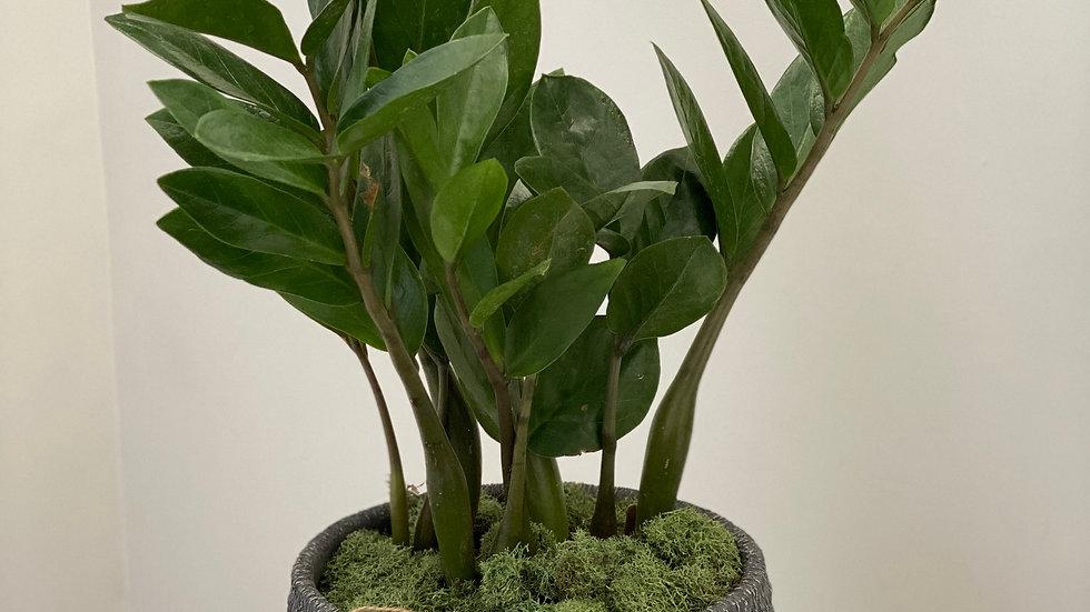 Mini ZZ Plant