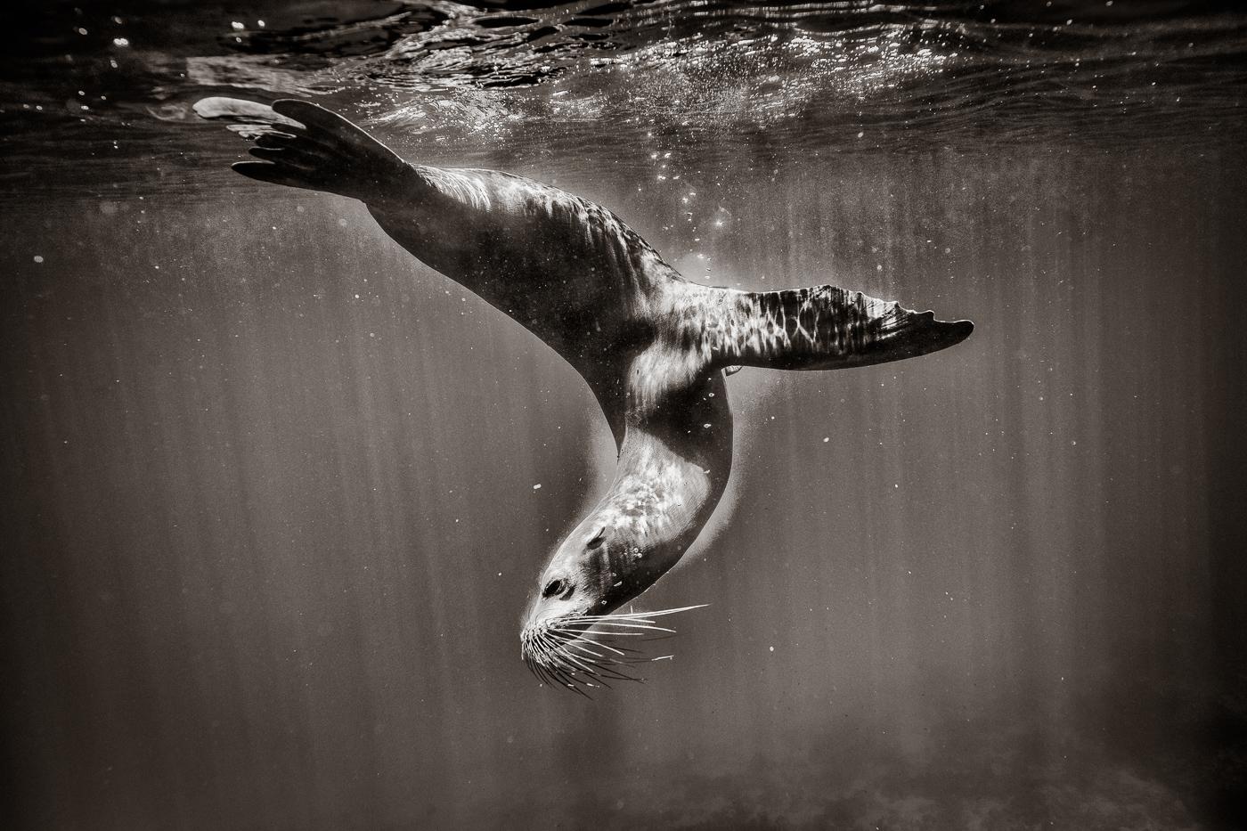 Sea Lion_Eliseo Miciu