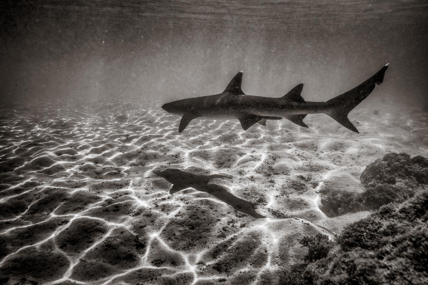 Shark_Eliseo Miciu