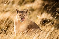 Puma in color