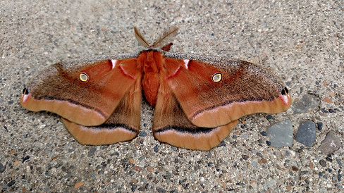 Big Brown Moth by Rachel