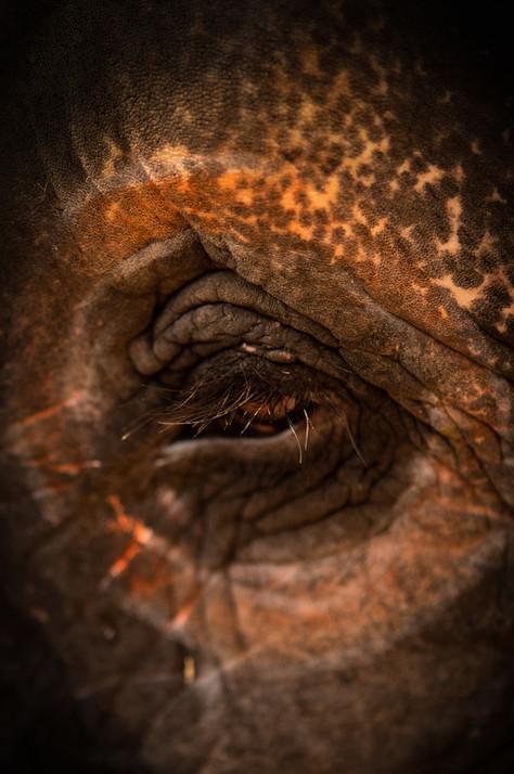 Wildlife - Elephant Eye