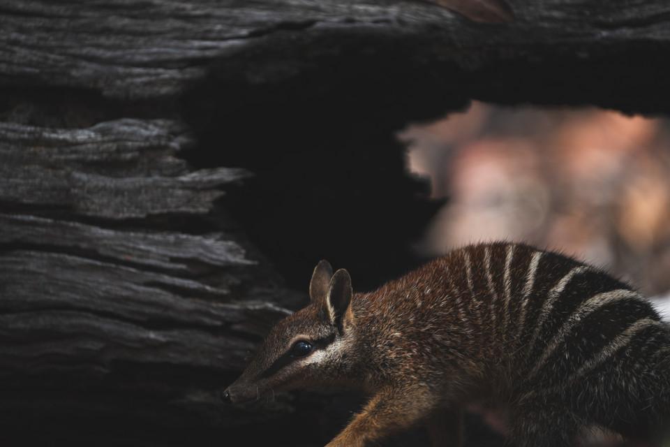 Wildlife - Sneaky Numbat
