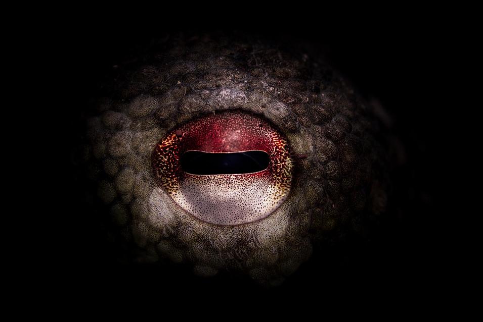 Deep Oceans - Octopus Eye
