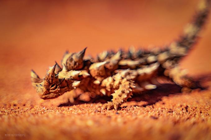 Nature - Thorny Devil, Australia