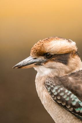 Wildlife - Kookaburra