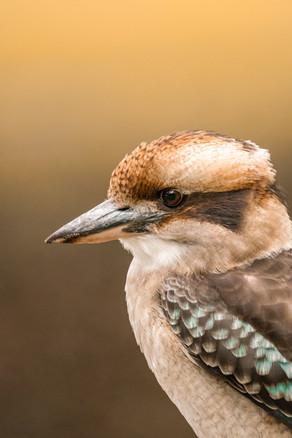 Nature - Kookaburra, Meelup