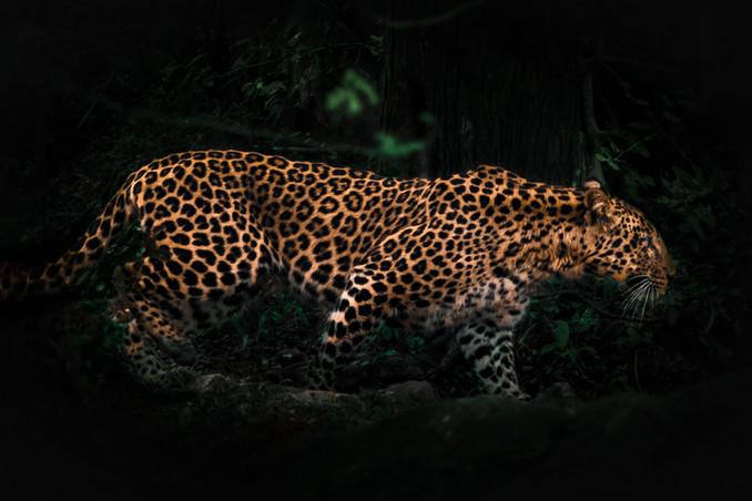 Nature - Leopard, India