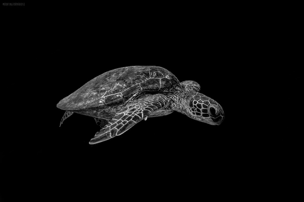 Ocean - Turtle blackout