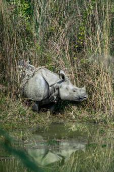 Nature - Great horned rhino, Chitwan