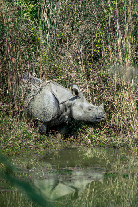 Nature - Great horned rhino, Chitwan
