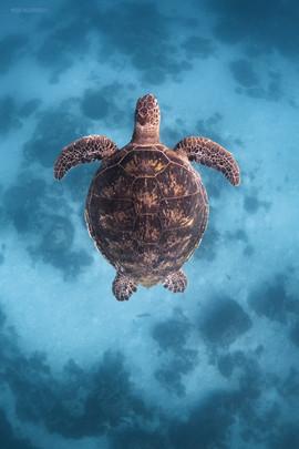 Tropical Oceans - Turtle Top Down