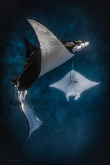 Ocean - Manta mating chain