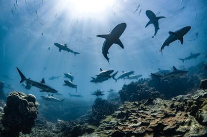 Tropical Oceans - Shark Water