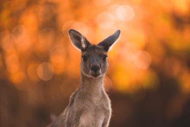 Wildlife - Kangaroo Sunset