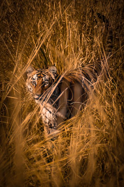 Nature - Tiger, India