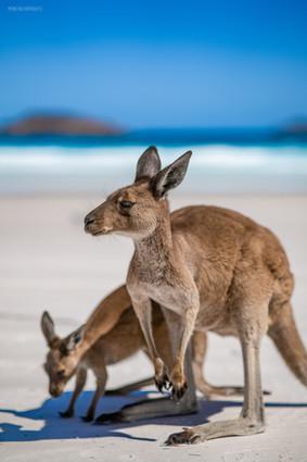 Wildlife - Kangaroo on the Beach with Joey