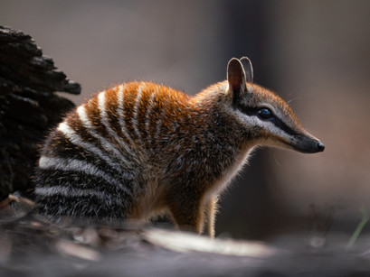 How to spot a Numbat in the wild...