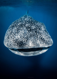 Tropical Oceans - Whale Shark Smile