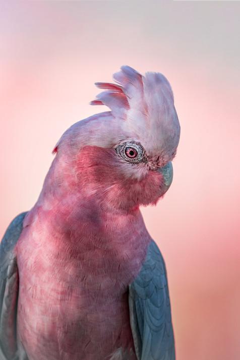 Wildlife - Galah Portrait