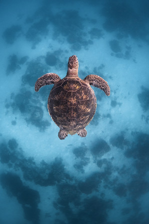Ocean - Turtle
