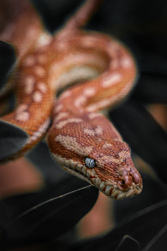Nature - Centralian carpet python