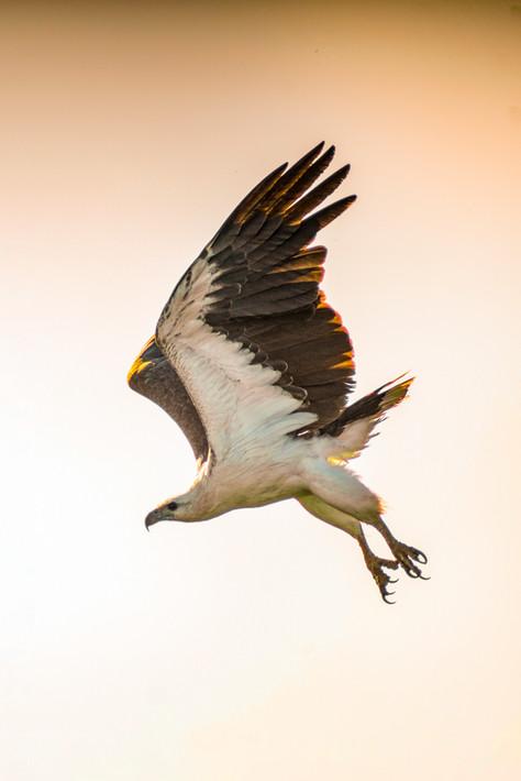 Nature - Sea Eagle, Kakadu