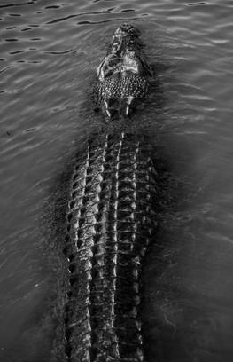 Nature - Estaurine Crocodile, Kakadu